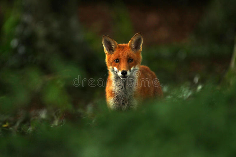 British Red Fox. Red vixen hunting amongst old english woodland stock photography