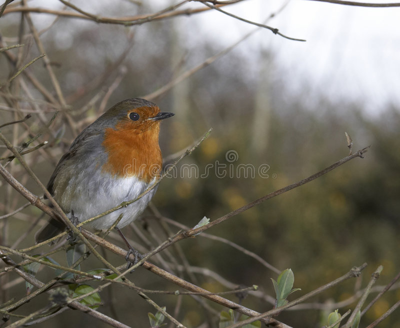 British Robin Stock Photo