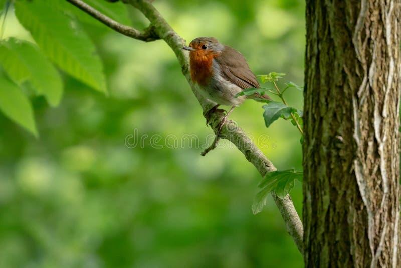 British robin redbreast. Erithacus rubecula royalty free stock image