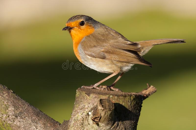 British robin redbreast close up on a log. British robin redbreast perched on a log in early morning sunlight. Close up of natural wildlife royalty free stock photography