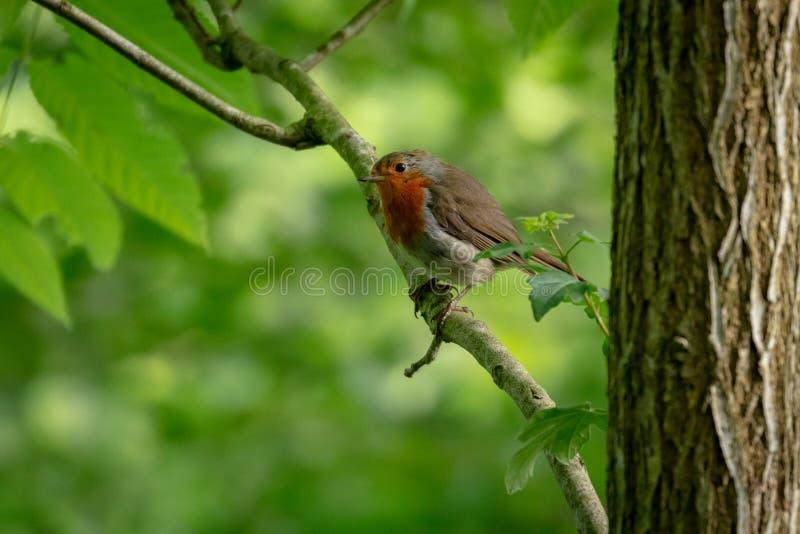 British robin redbreast. Erithacus rubecula royalty free stock photos