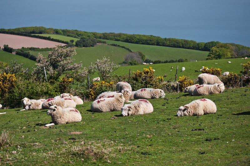 Download British sheep stock photo. Image of great, beautiful - 19986932