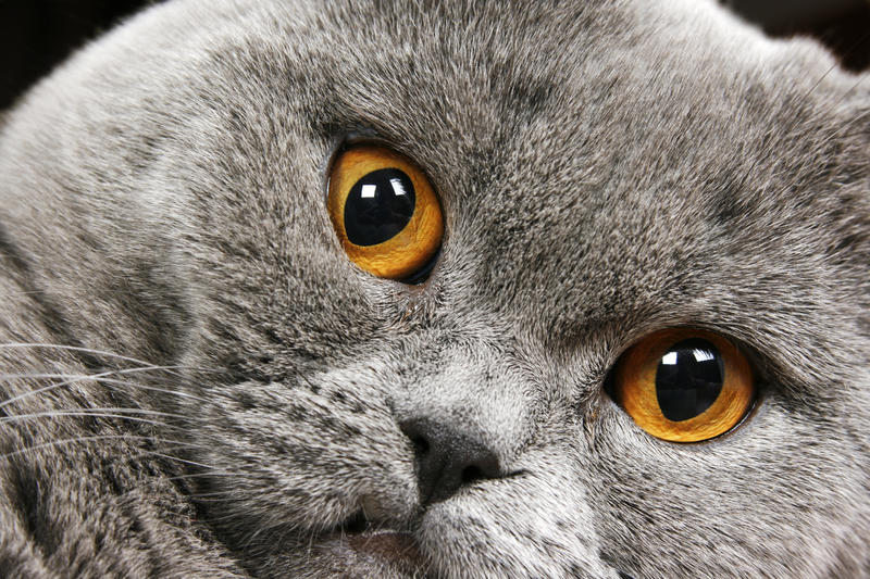 Download British short hair cat stock photo. Image of lovable - 12807034