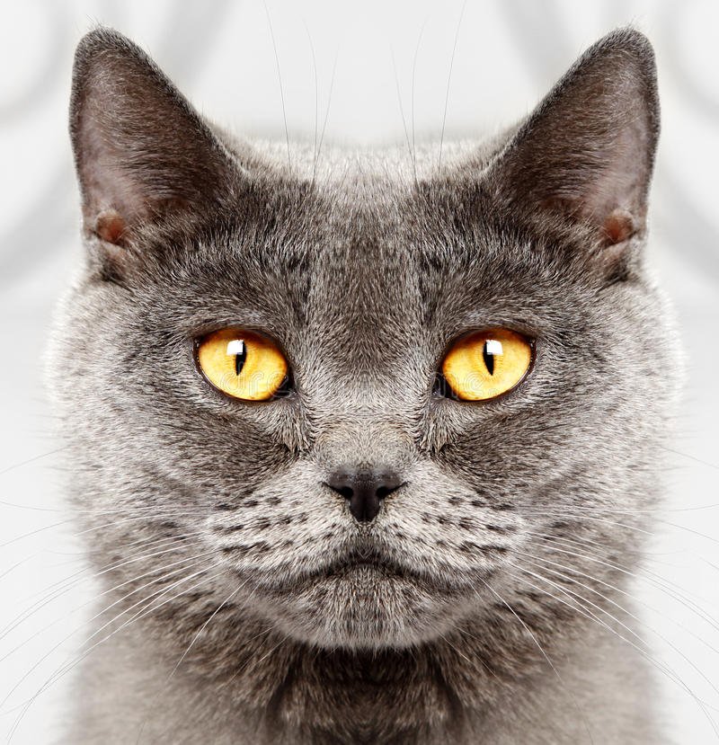 Download British short hair cat stock image. Image of lovable - 27019555
