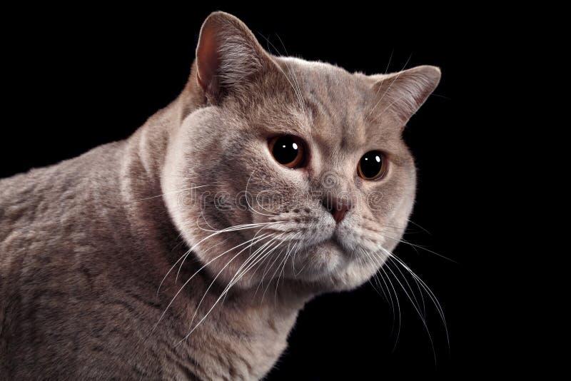 Download British Short Hair Cat Cutout Stock Image - Image: 28704433