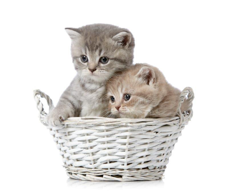 Download British short hair kittens stock image. Image of gray - 22471885