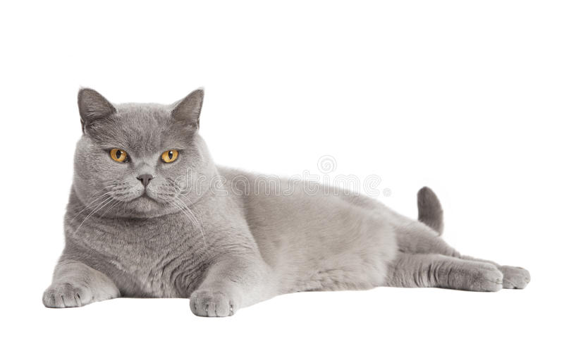 British short haired cat isolated. A gray British short-haired cat lying in front of white background, isolated royalty free stock photography