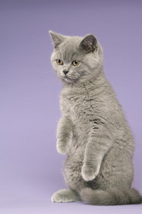 Download British Short Haired Grey Cat Stock Image - Image: 25629849
