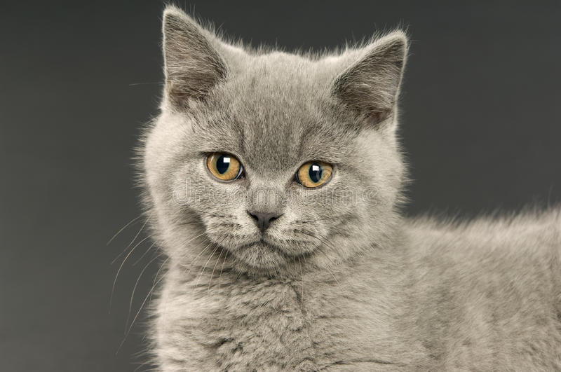 Download British Short Haired Grey Cat Stock Photo - Image: 25629856