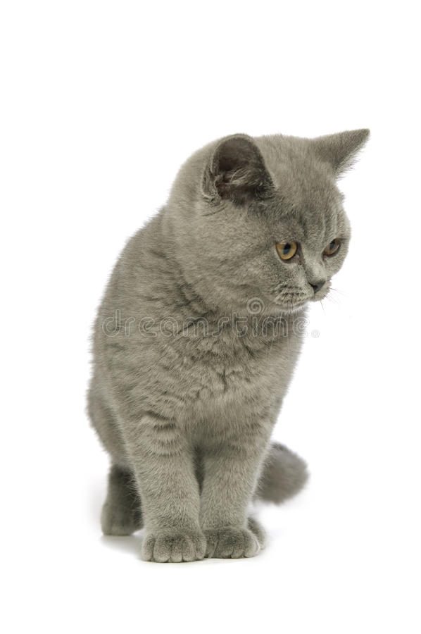Download British Short Haired Grey Cat Stock Photo - Image: 25629864