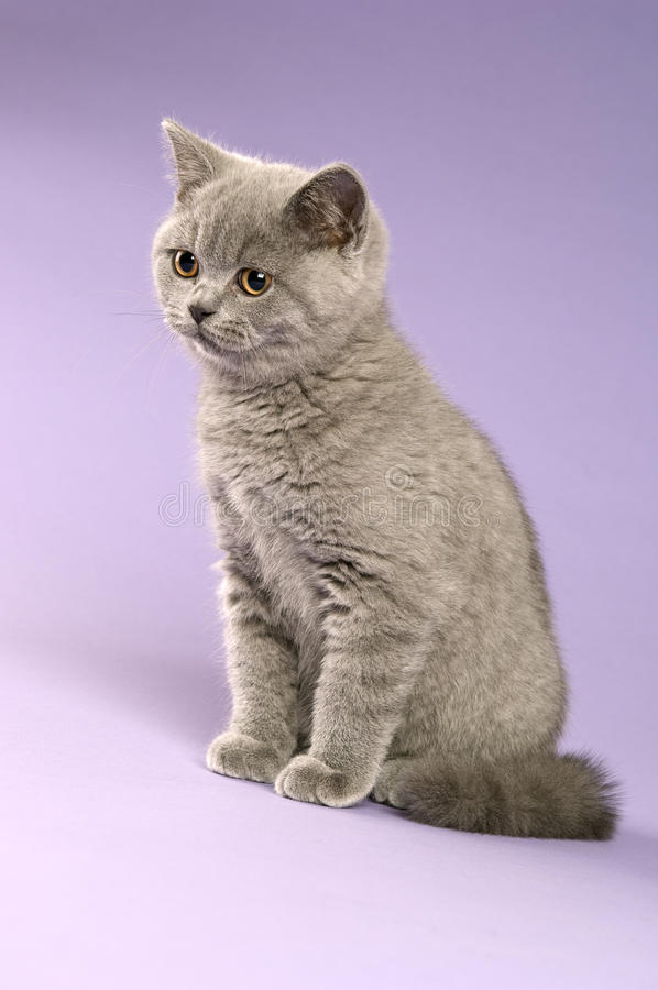 Download British Short Haired Grey Cat Royalty Free Stock Image - Image: 25629866