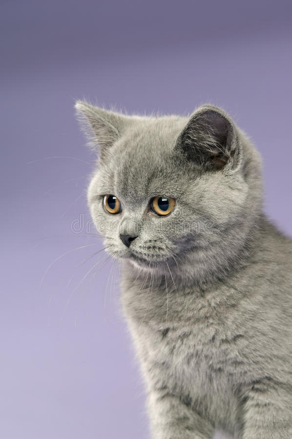 British Short Haired Grey Cat Royalty Free Stock Photography