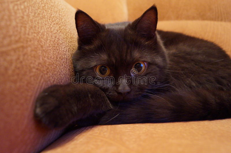 The British Shorthair сat royalty free stock photo