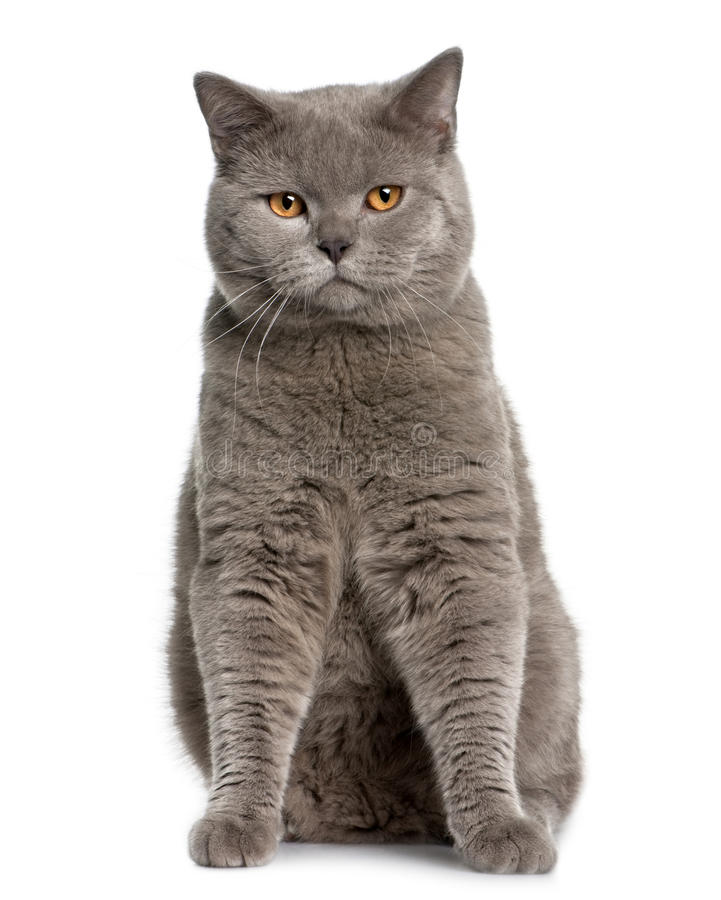 British Shorthair (10 Months Old) Royalty Free Stock Photos