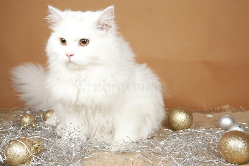 Download British shorthair stock image. Image of feline, longhaired - 28250839