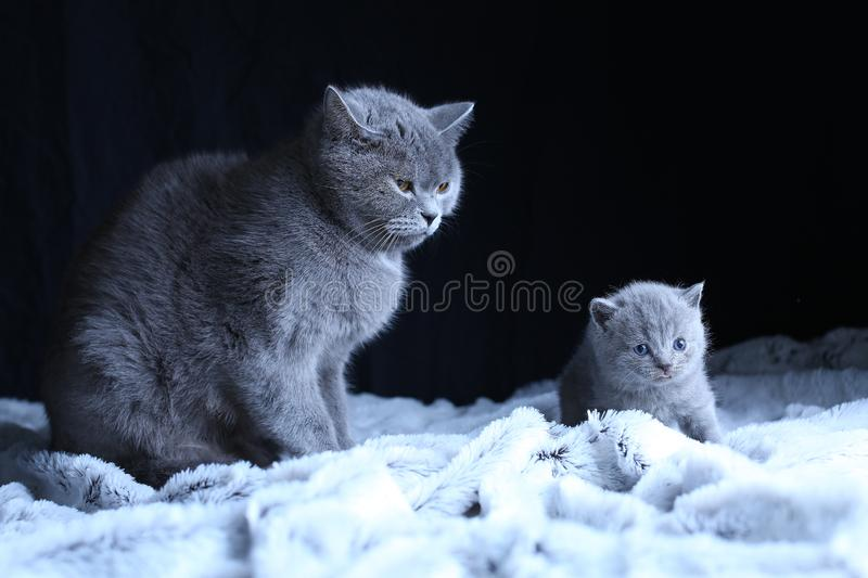 British Shorthair baby and his mother cat on blanket. British Shorthair mom cat and kitten, black background copy space. Cute face stock photography