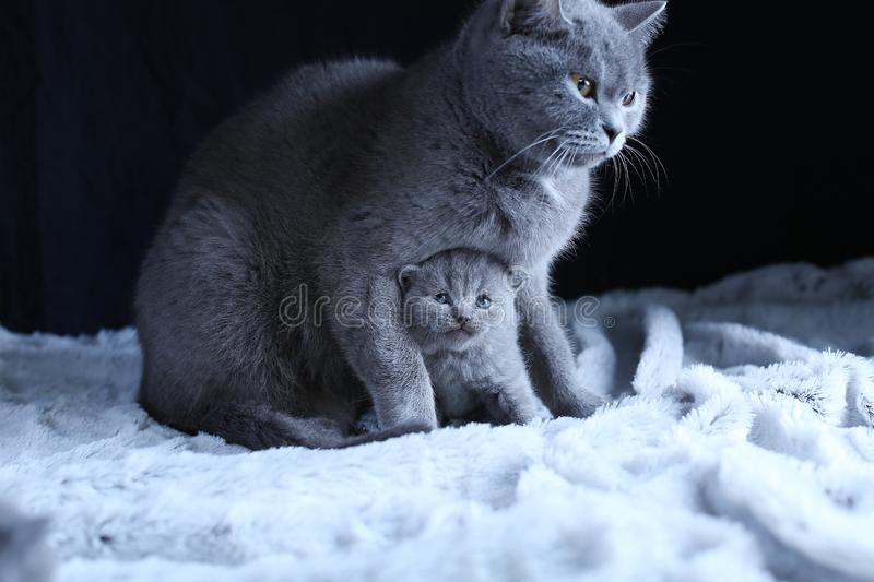 British Shorthair baby and his mother cat on blanket. Portrait. British Shorthair mom cat and kitten, black background copy space. Cute face royalty free stock photo