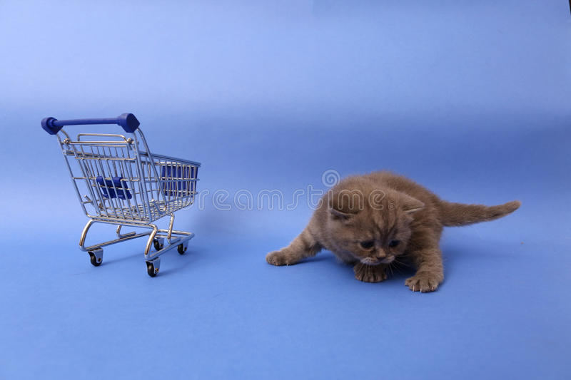 British Shorthair baby. Baby kitten near a shopping cart, one week old stock photography