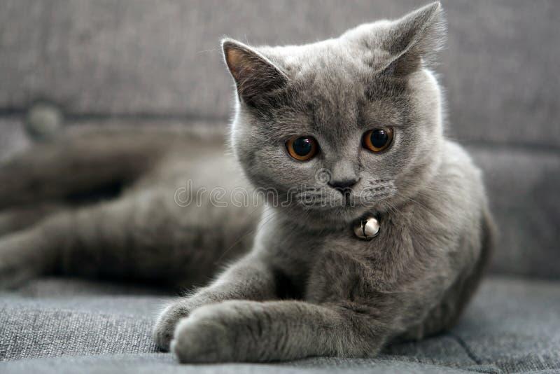 British Shorthair baby. British shorthair kitten sitting on a grey armchair stock image