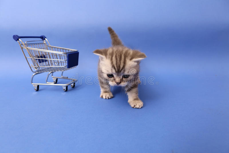 British Shorthair baby. Baby kitten walking near a shopping cart, one week old stock photography