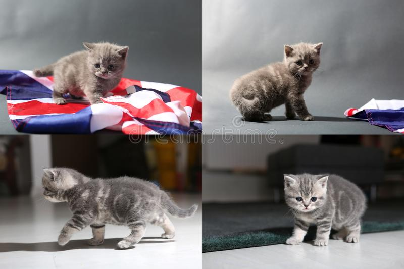 Baby kittens playing on the carpet and with Great Britain flag, multicam royalty free stock image