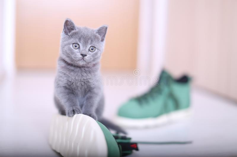 British Shorthair baby and a pair of shoes. British Shorthair kitten and a pair of green boots royalty free stock images