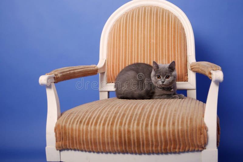 British Shorthair baby. Sitting on an armchair, blue background stock photos