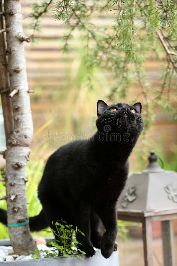 British Shorthair black cat portrait among branches stock photos