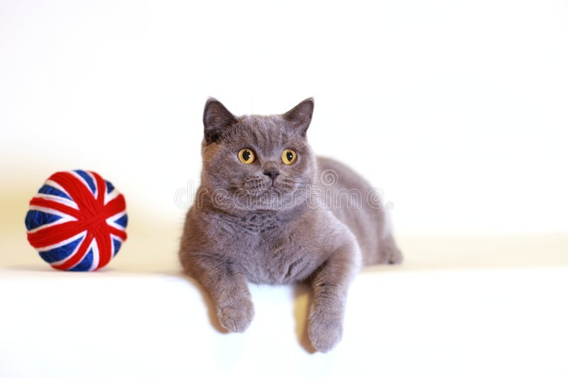 British Shorthair Blue Cat Stock Photo
