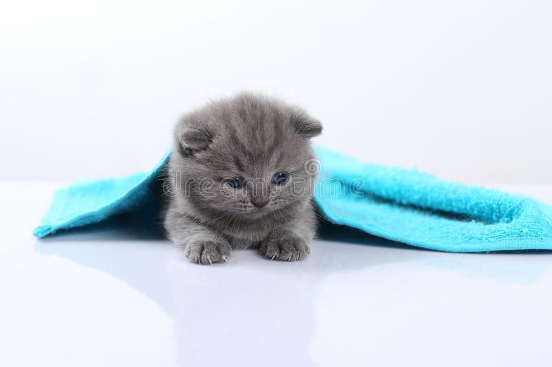 British Shorthair blue kittens covered in a blue towel stock images