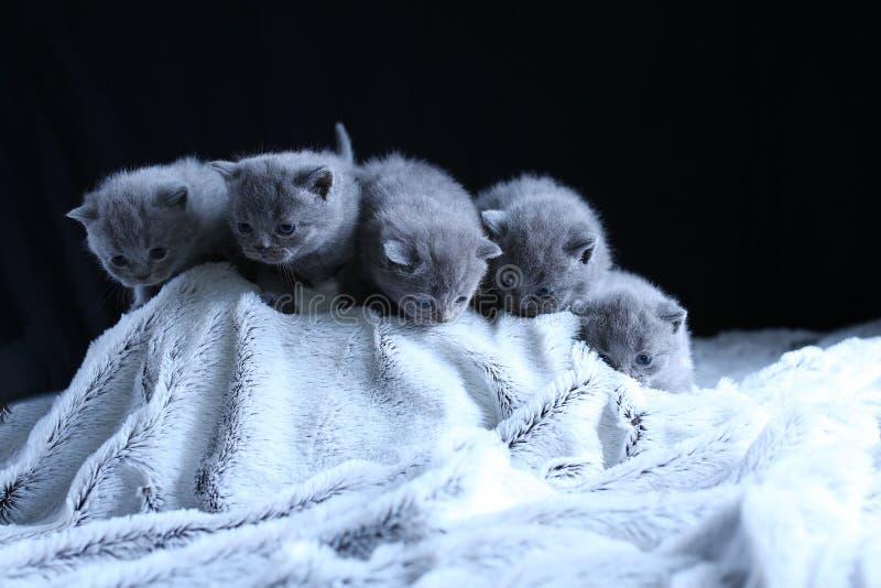 British Shorthair kittens sitting on a fluffy blanket stock image