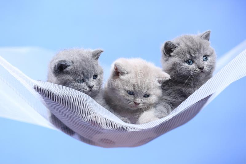 British Shorthair blue and lilac kitten on a white net, portrait. Adorable kittens, British Shorthair kittens sitting on a white net stock photo