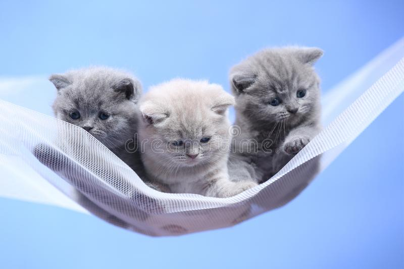 British Shorthair blue and lilac kitten on a white net, portrait. Adorable kittens, British Shorthair kittens sitting on a white net stock photos