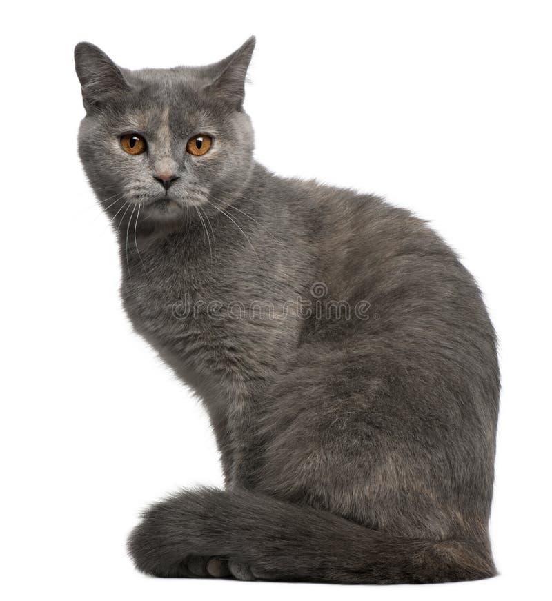 British Shorthair cat, 1 year old, sitting stock image