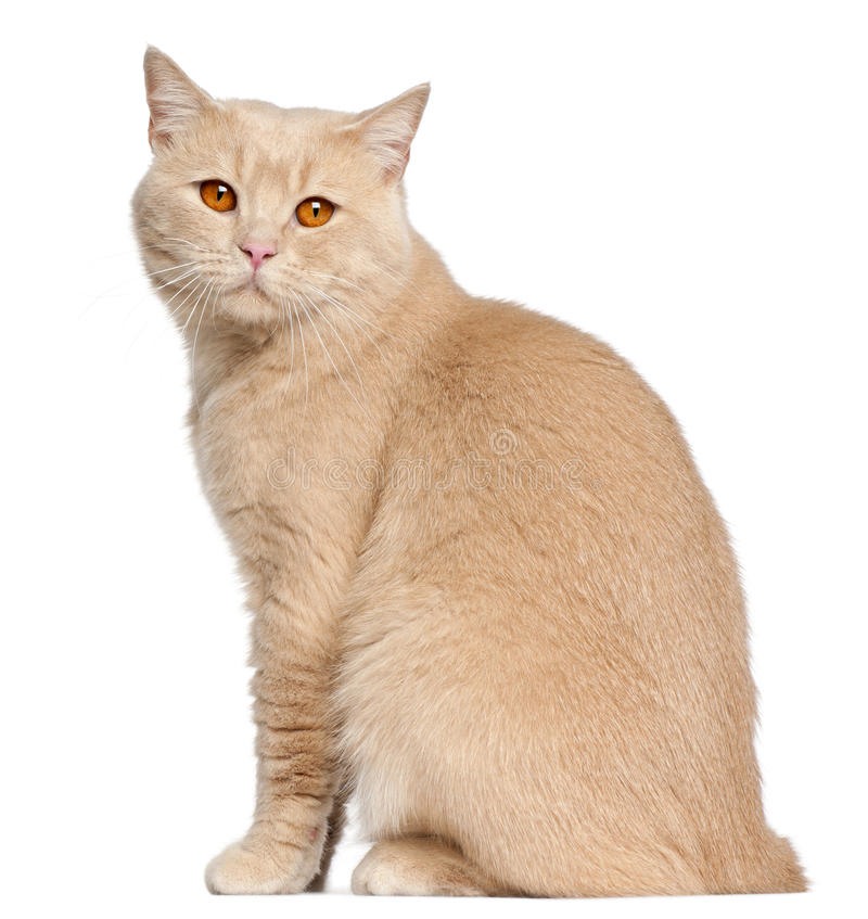 British Shorthair cat, 1 year old, sitting stock photos