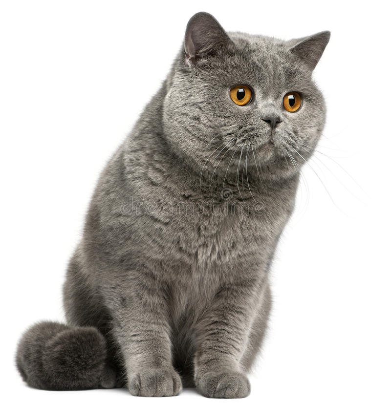 British Shorthair cat, 2 years old royalty free stock image
