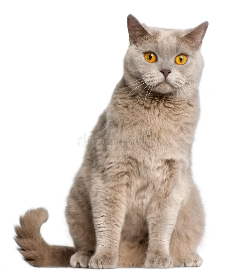 British Shorthair cat, 2 years old, sitting stock photo