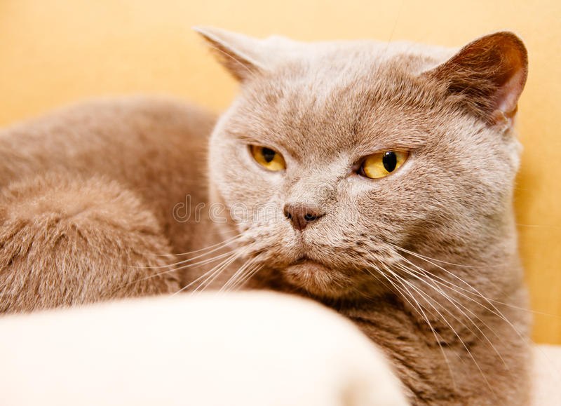 Download British shorthair cat stock photo. Image of domestic - 23888544