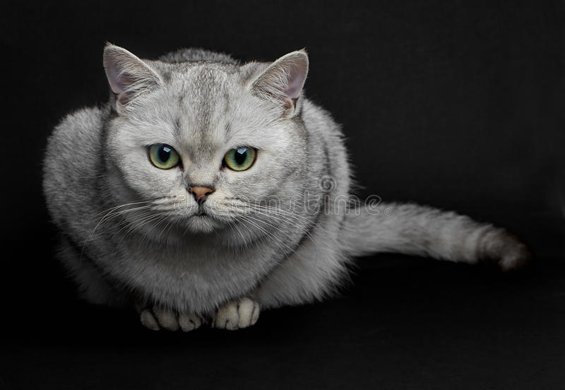 British shorthair cat. Beautiful Gray British shorthair cat with yellow eyes on a black background royalty free stock photography