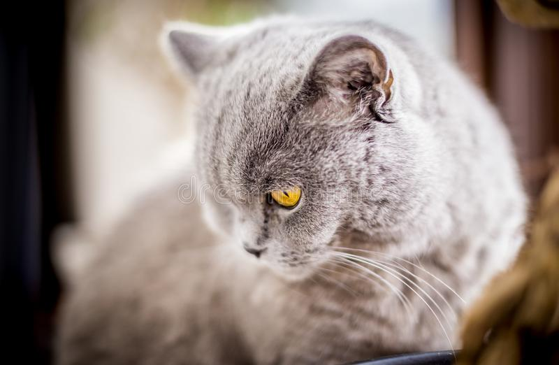 British Shorthair cat with blue and grey fur. Portrait of British Shorthair cat with blue and grey fur. Shallow depth of field royalty free stock photos