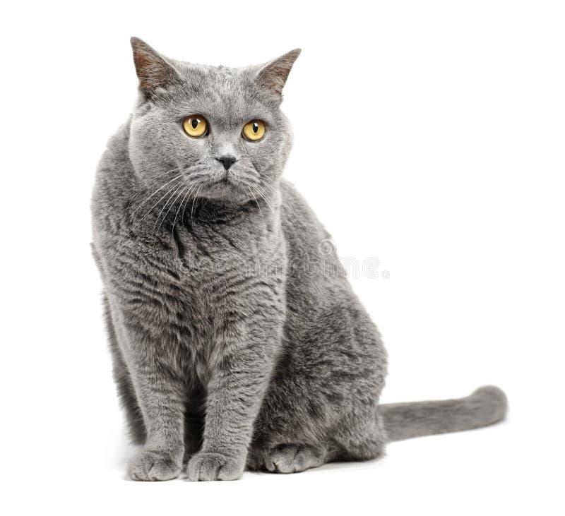British shorthair cat. Isolated on white background stock images