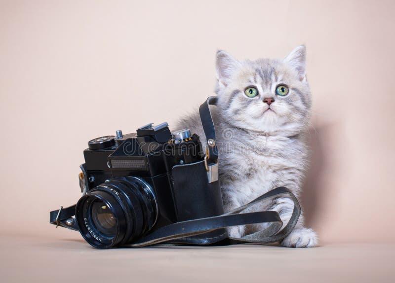 British shorthair cat with camera stock image