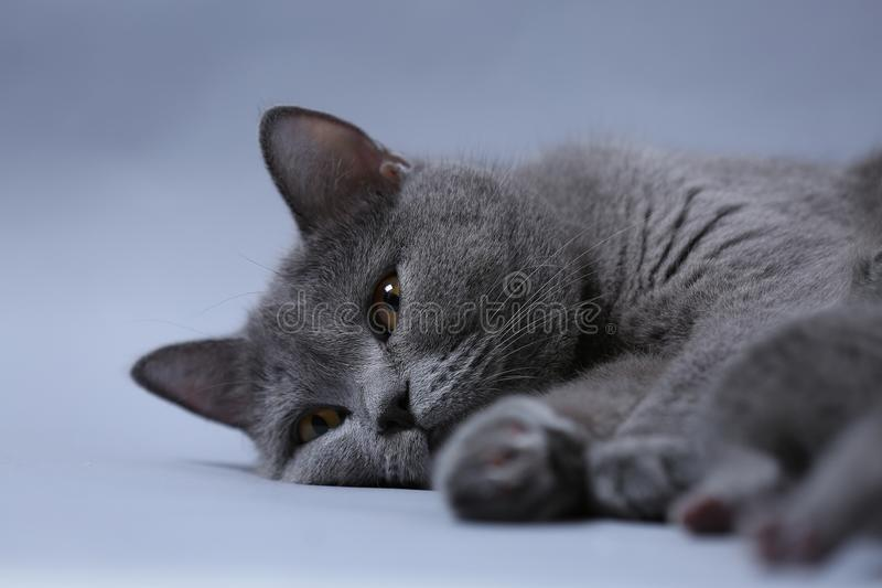 British Shorthair cat, cute face royalty free stock photo