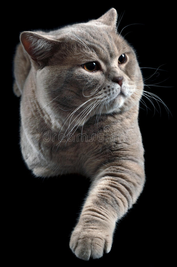 British Shorthair Cat Cutout. British Shorthair Cat Isolated on Black Background royalty free stock images