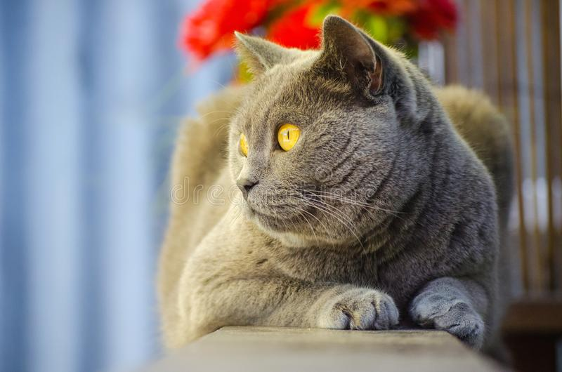 British Shorthair Cat. The British shorthair cat is a domestic cat breed, grown around 1900 in the UK. It was bred by crossing Persian cats and domestic royalty free stock photo