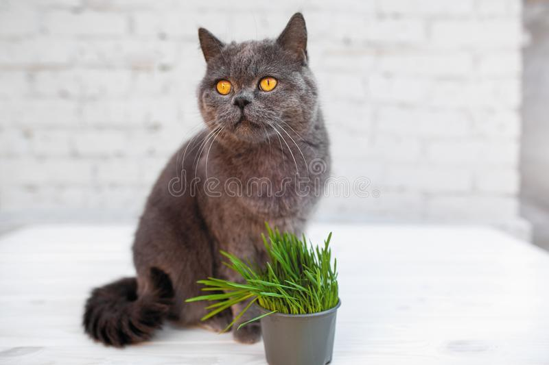 British Shorthair cat He eats useful vitamin-rich grass in a pot from a pet shop. stock photo