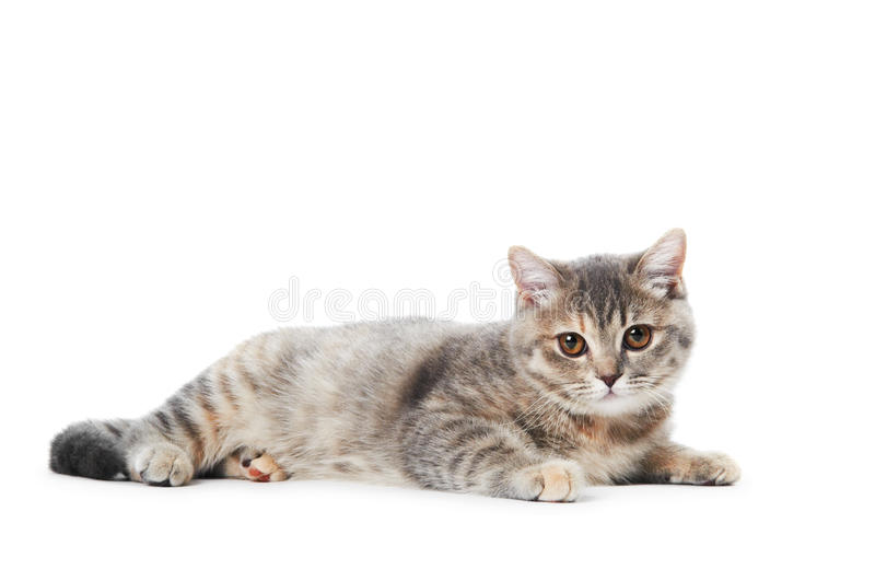 British Shorthair cat isolated royalty free stock images