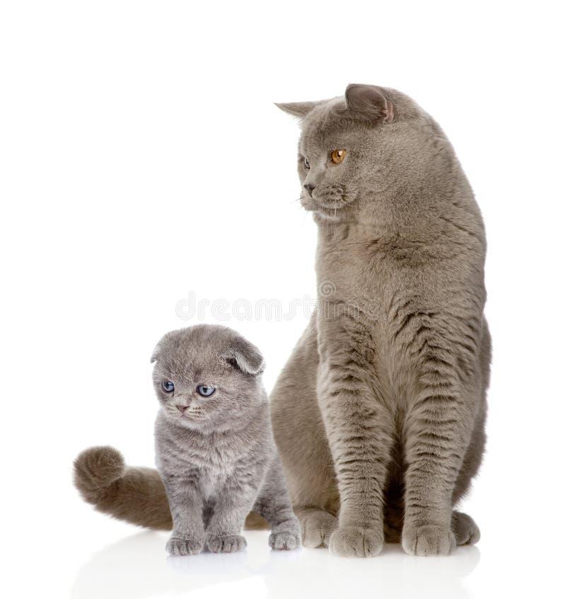 British shorthair cat and kitten. isolated on white background stock photo