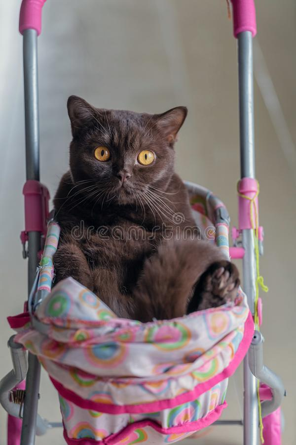 British Shorthair cat laying in colourful baby stroller indoors. Playful domestic cat sitting in a trolley inside.  royalty free stock photos