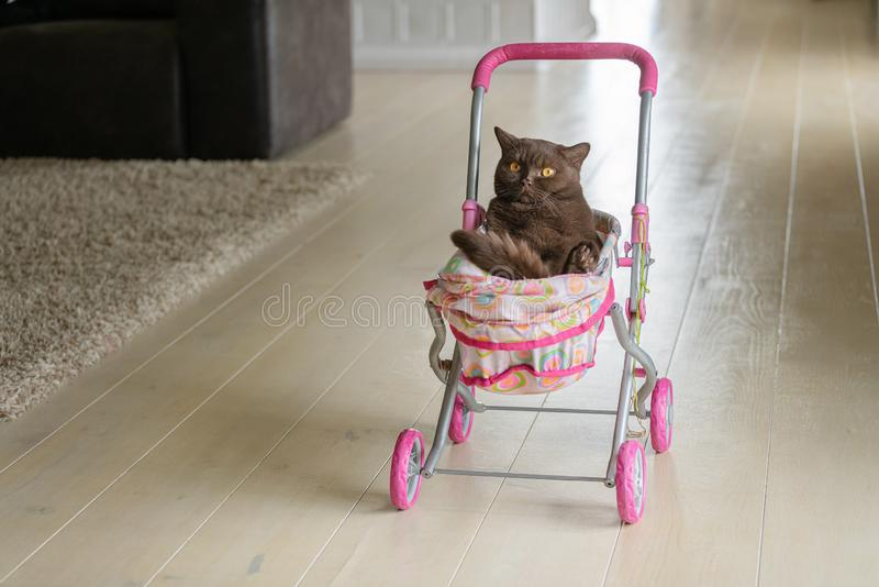 British Shorthair cat laying in colourful baby stroller indoors. Playful domestic cat sitting in a trolley inside.  stock images